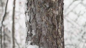 灰鼠在一棵树爬行在冬天森林里 影视素材