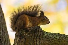 灰鼠在一棵树的分支在公园在森林里坐温暖和晴朗的秋天天 免版税库存照片