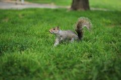 灰鼠在中央公园 库存照片