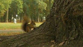 灰鼠在公园吃苹果计算机-慢动作96 fps 股票录像