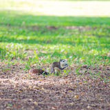 灰鼠在公园居住 库存照片