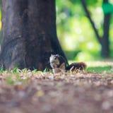 灰鼠在公园居住 免版税库存图片