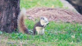 灰鼠在公园居住 免版税库存照片