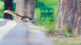 灰鼠在公园居住 库存图片
