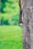 灰鼠在公园居住 免版税图库摄影