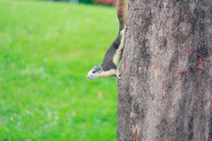 灰鼠在公园居住 图库摄影
