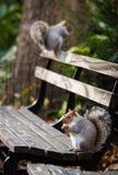 灰鼠在公园 库存照片