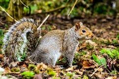 灰鼠在公园 免版税库存照片