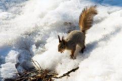 灰鼠在冬天,野生生物 图库摄影
