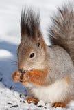 灰鼠在冬天 免版税库存照片