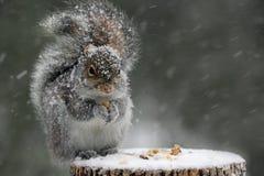 灰鼠在冬天 库存照片