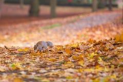 灰鼠在叶子之间的秋天公园 库存图片