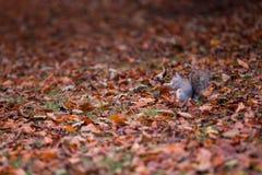 灰鼠在叶子之间的秋天公园 免版税库存照片