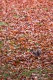 灰鼠在叶子之间的秋天公园 免版税库存图片