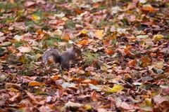 灰鼠在叶子之间的秋天公园 库存照片