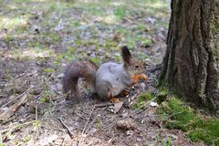 灰鼠在圣彼德堡Pavlovsk宫殿的公园咬坚果  免版税库存图片