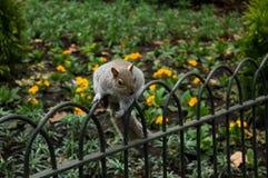 灰鼠在圣詹姆斯的公园,伦敦 免版税库存图片