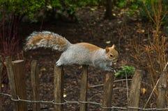 灰鼠在圣詹姆斯的公园,伦敦 免版税库存照片