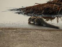 灰鼠在夏日 免版税库存图片