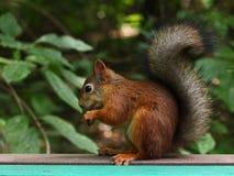 灰鼠在早晨公园 免版税库存图片