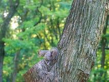 灰鼠在曼哈顿公园吃在树的橡子 库存照片