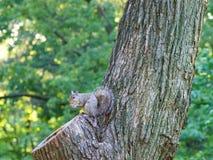 灰鼠在曼哈顿吃在树的橡子 免版税库存照片