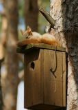 灰鼠在杉木公园在他的套楼公寓睡觉 库存图片