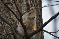 灰鼠在杉木森林里 库存图片