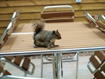 灰鼠在森林在中心停放诺丁汉英国 图库摄影