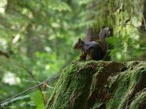 灰鼠在森林里 免版税库存图片