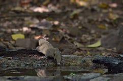 灰鼠在森林里 免版税图库摄影