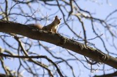 灰鼠在狂放释放 免版税图库摄影