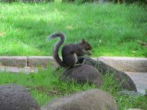 灰鼠在瓦伦蒂诺公园 库存照片