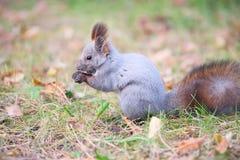 灰鼠在秋天公园 免版税库存图片