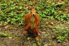 灰鼠在秋天公园 库存图片