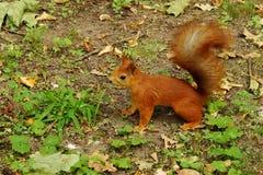 灰鼠在秋天公园 免版税库存照片