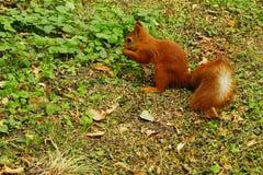灰鼠在秋天公园 图库摄影