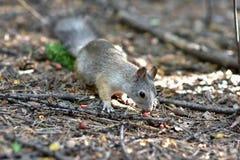 灰鼠在秋天森林公园 灰鼠发现了在秋天森林公园的场面的一枚坚果 免版税库存照片