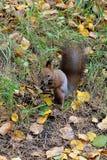 灰鼠在秋天森林里 库存照片