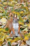 灰鼠在秋天森林里 免版税库存照片