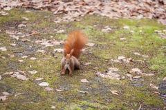 灰鼠在秋天森林,纽约,美国里, 免版税库存照片