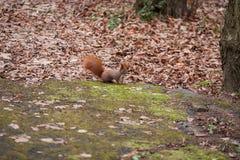灰鼠在秋天森林,纽约,美国里, 库存照片
