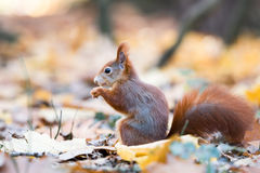 灰鼠在秋天 免版税库存照片