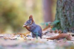灰鼠在秋天 库存照片
