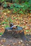 灰鼠在秋天Kuskovo公园在莫斯科 图库摄影
