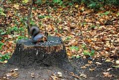 灰鼠在秋天Kuskovo公园在莫斯科 免版税库存照片