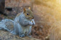 灰鼠在背景在秋天森林里 免版税图库摄影