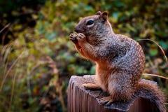 灰鼠在齐奥国家公园 免版税图库摄影