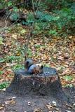 灰鼠在Kuskovo公园在莫斯科 图库摄影