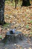 灰鼠在Kuskovo公园在莫斯科 免版税库存照片